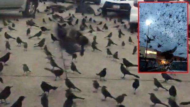 ABŞ-da qarğa dəstəsi insanlara hücum etdi - VİDEO