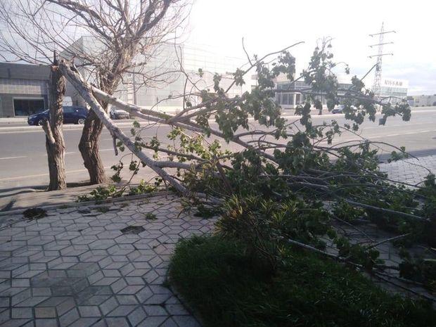 Bakıda küləyin fəsadları: Altı ağac aşdı, bir neçəsinin budağı qırıldı