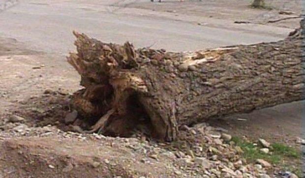 Sınıb yola düşən ağac avtomobillərin hərəkətinə mane oldu - VİDEO