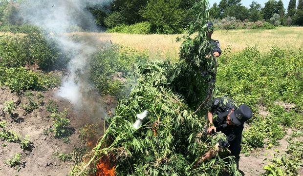 Ağdaşda bir tondan çox narkotik bitki məhv edildi - FOTO